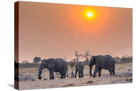 Botswana. Chobe National Park. Savuti. Harvey's Pan. Elephants Drinking at a Water Hole at Sunset-Inger Hogstrom-Stretched Canvas Print