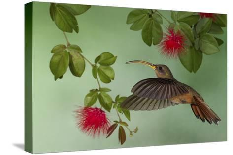 Rufous-Breasted Hermit-Ken Archer-Stretched Canvas Print