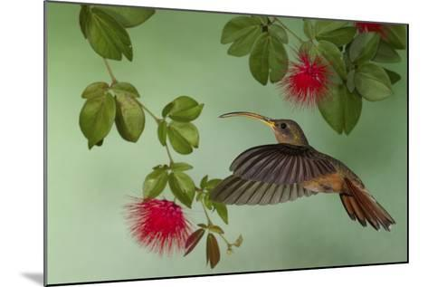 Rufous-Breasted Hermit-Ken Archer-Mounted Photographic Print