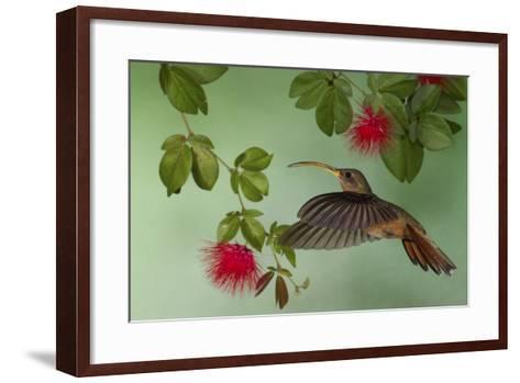Rufous-Breasted Hermit-Ken Archer-Framed Art Print
