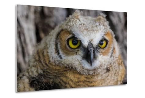 Fledgling Great Horned Owl Portrait in Cottonwood, South Dakota, Usa-Chuck Haney-Metal Print