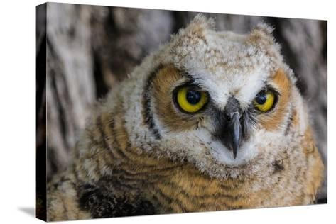 Fledgling Great Horned Owl Portrait in Cottonwood, South Dakota, Usa-Chuck Haney-Stretched Canvas Print
