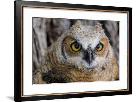 Fledgling Great Horned Owl Portrait in Cottonwood, South Dakota, Usa-Chuck Haney-Framed Art Print