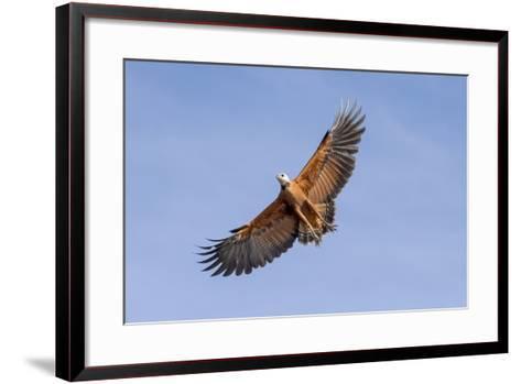 Brazil, Mato Grosso, the Pantanal. Black-Collared Hawk in Flight-Ellen Goff-Framed Art Print