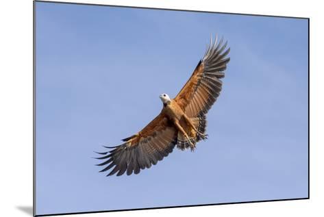 Brazil, Mato Grosso, the Pantanal. Black-Collared Hawk in Flight-Ellen Goff-Mounted Photographic Print