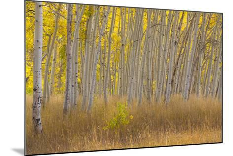 Fall Aspen Trees Along Skyline Drive, Utah, Manti-La Sal National Forest-Jaynes Gallery-Mounted Photographic Print