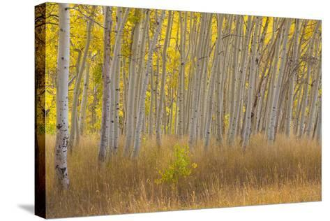 Fall Aspen Trees Along Skyline Drive, Utah, Manti-La Sal National Forest-Jaynes Gallery-Stretched Canvas Print