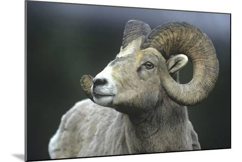 Rocky Mountain Bighorn Sheep, Wyoming, Usa-Tim Fitzharris-Mounted Photographic Print
