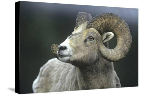 Rocky Mountain Bighorn Sheep, Wyoming, Usa-Tim Fitzharris-Stretched Canvas Print