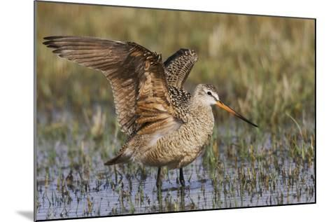Marbled Godwit-Ken Archer-Mounted Photographic Print