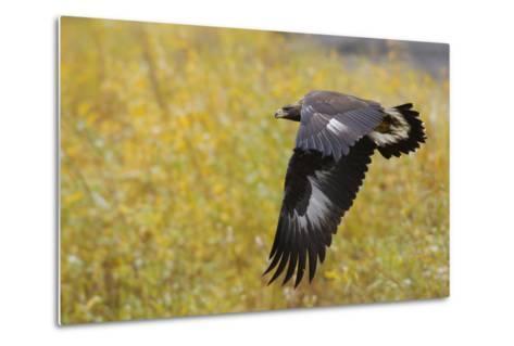 Golden Eagle, Autumn Flight-Ken Archer-Metal Print