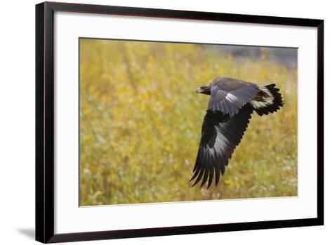 Golden Eagle, Autumn Flight-Ken Archer-Framed Art Print