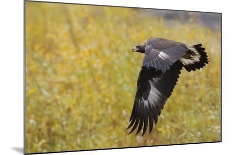 Golden Eagle, Autumn Flight-Ken Archer-Mounted Photographic Print