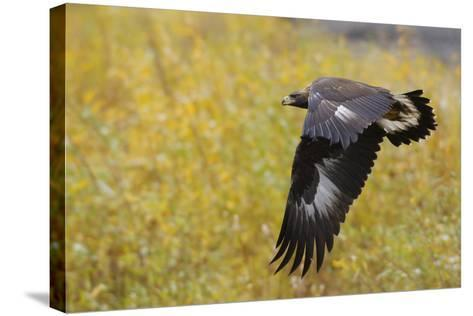 Golden Eagle, Autumn Flight-Ken Archer-Stretched Canvas Print