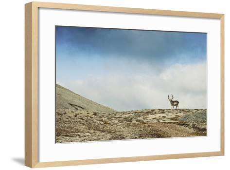 Arctic, Svalbard. Rangifer Tarandus Platyrhynchus, Male Svalbard Reindeer on Barren Tundra-David Slater-Framed Art Print