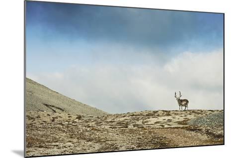Arctic, Svalbard. Rangifer Tarandus Platyrhynchus, Male Svalbard Reindeer on Barren Tundra-David Slater-Mounted Photographic Print