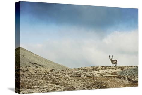 Arctic, Svalbard. Rangifer Tarandus Platyrhynchus, Male Svalbard Reindeer on Barren Tundra-David Slater-Stretched Canvas Print