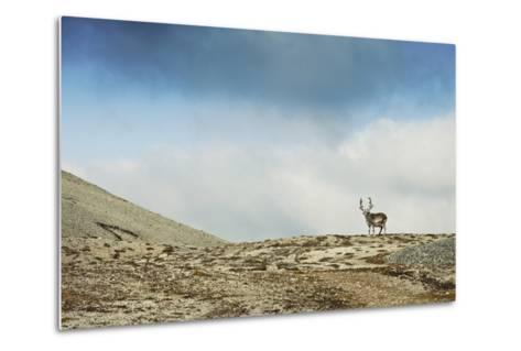 Arctic, Svalbard. Rangifer Tarandus Platyrhynchus, Male Svalbard Reindeer on Barren Tundra-David Slater-Metal Print