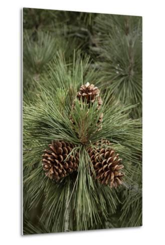 Eastern Sierra Pine and New Cones at Oh-Ridge Campground, June Lake, California-Michael Qualls-Metal Print