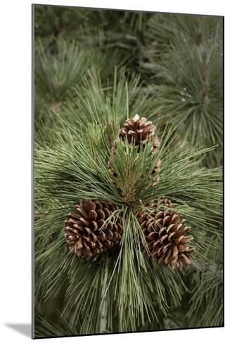 Eastern Sierra Pine and New Cones at Oh-Ridge Campground, June Lake, California-Michael Qualls-Mounted Photographic Print