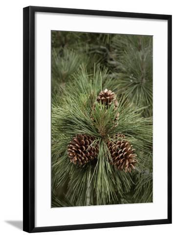 Eastern Sierra Pine and New Cones at Oh-Ridge Campground, June Lake, California-Michael Qualls-Framed Art Print