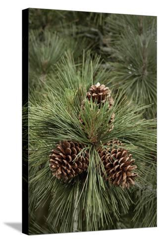 Eastern Sierra Pine and New Cones at Oh-Ridge Campground, June Lake, California-Michael Qualls-Stretched Canvas Print