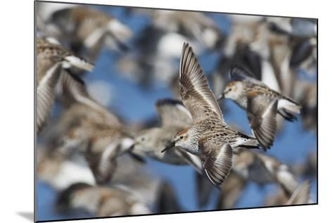 Western Sandpipers, Migration Flight-Ken Archer-Mounted Photographic Print