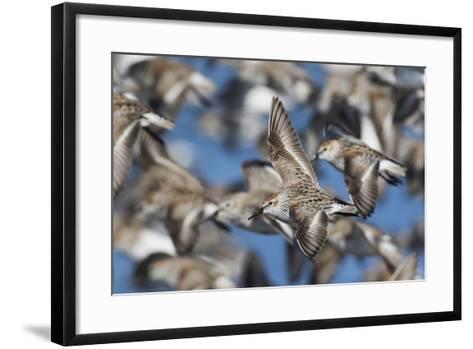 Western Sandpipers, Migration Flight-Ken Archer-Framed Art Print