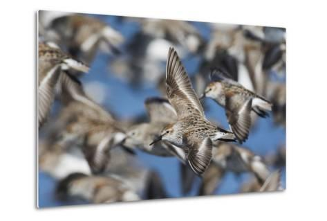 Western Sandpipers, Migration Flight-Ken Archer-Metal Print