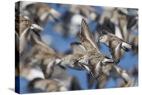 Western Sandpipers, Migration Flight-Ken Archer-Stretched Canvas Print