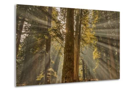 Sun Rays Penetrate Forest Floor at Ross Creed Cedar Grove in Kootenai National Forest, Montana-Chuck Haney-Metal Print