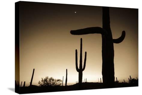 Saguaro Cactus at Sunset, Organ Pipe Cactus National Monument, Usa-Russ Bishop-Stretched Canvas Print