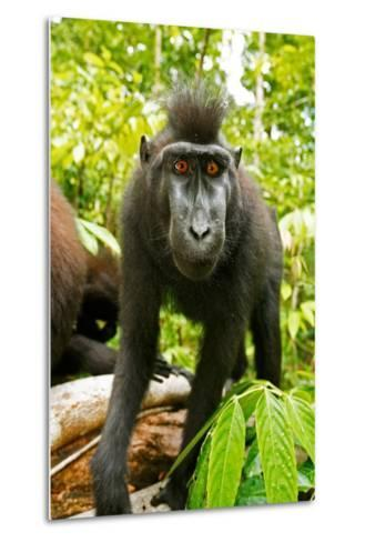 Asia, Indonesia, Sulawesi. Crested Black Macaque Juvenile in Rainforest-David Slater-Metal Print