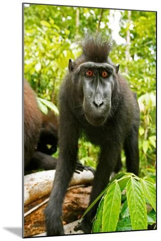 Asia, Indonesia, Sulawesi. Crested Black Macaque Juvenile in Rainforest-David Slater-Mounted Photographic Print