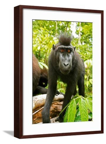 Asia, Indonesia, Sulawesi. Crested Black Macaque Juvenile in Rainforest-David Slater-Framed Art Print