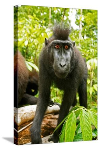 Asia, Indonesia, Sulawesi. Crested Black Macaque Juvenile in Rainforest-David Slater-Stretched Canvas Print