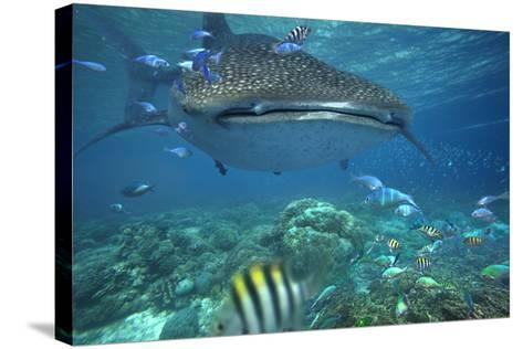 Whale Shark over Coral Reef, Cebu, Philippines-Tim Fitzharris-Stretched Canvas Print