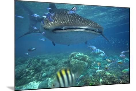 Whale Shark over Coral Reef, Cebu, Philippines-Tim Fitzharris-Mounted Photographic Print
