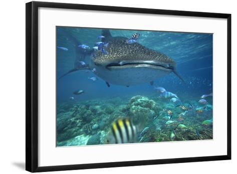 Whale Shark over Coral Reef, Cebu, Philippines-Tim Fitzharris-Framed Art Print