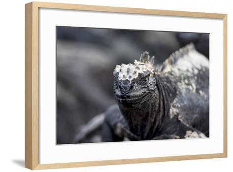 Ecuador, Galapagos Islands, Fernandina, Punta Espinoza. Marine Iguana Head Portrait-Ellen Goff-Framed Art Print