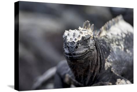 Ecuador, Galapagos Islands, Fernandina, Punta Espinoza. Marine Iguana Head Portrait-Ellen Goff-Stretched Canvas Print