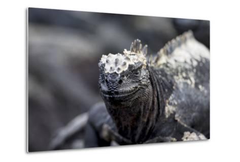 Ecuador, Galapagos Islands, Fernandina, Punta Espinoza. Marine Iguana Head Portrait-Ellen Goff-Metal Print