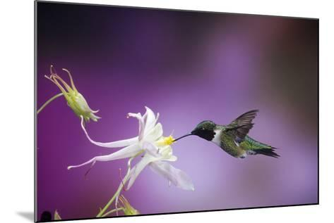 Ruby-Throated Hummingbird Female on Mckana's Hybrid Columbine, Shelby County, Illinois-Richard and Susan Day-Mounted Photographic Print