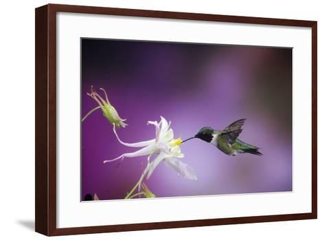 Ruby-Throated Hummingbird Female on Mckana's Hybrid Columbine, Shelby County, Illinois-Richard and Susan Day-Framed Art Print