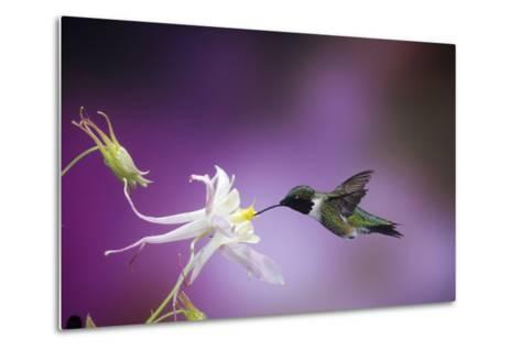 Ruby-Throated Hummingbird Female on Mckana's Hybrid Columbine, Shelby County, Illinois-Richard and Susan Day-Metal Print
