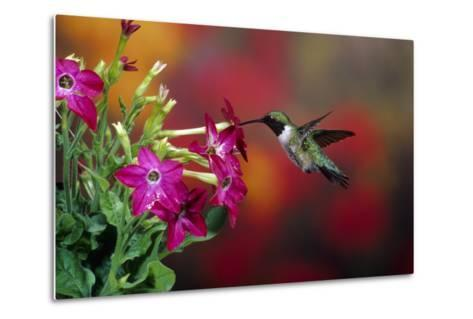 Ruby-Throated Hummingbird Male at Winged Tobacco, Illinois-Richard and Susan Day-Metal Print