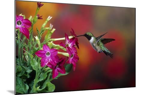 Ruby-Throated Hummingbird Male at Winged Tobacco, Illinois-Richard and Susan Day-Mounted Photographic Print