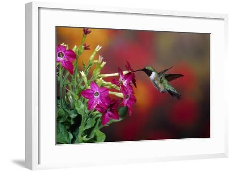 Ruby-Throated Hummingbird Male at Winged Tobacco, Illinois-Richard and Susan Day-Framed Art Print
