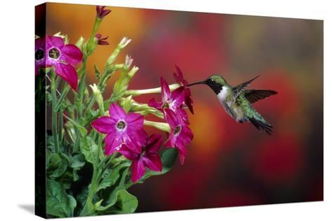 Ruby-Throated Hummingbird Male at Winged Tobacco, Illinois-Richard and Susan Day-Stretched Canvas Print
