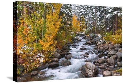Fresh Snow on Aspens and Pines Along Bishop Creek, Inyo National Forest, California-Russ Bishop-Stretched Canvas Print